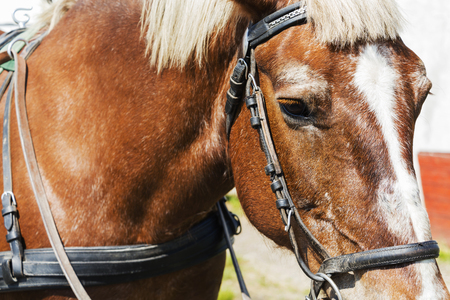 Close-up of the face of a horse in a harness.
