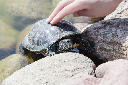 Turtle in the wild. Hand reaching for the turtle.