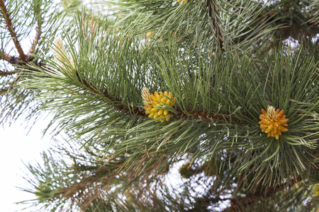 Pine branches with yellow pollen, pine blossom.