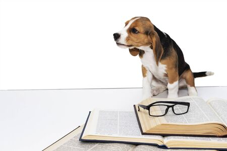 Cute beagle puppy with a book and glasses 免版税图像