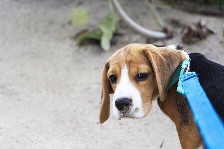 little cute tricolor Beagle puppy, sad look. 스톡 콘텐츠
