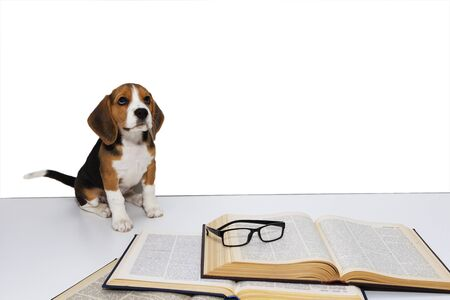 Cute beagle puppy with a book and glasses. 스톡 콘텐츠