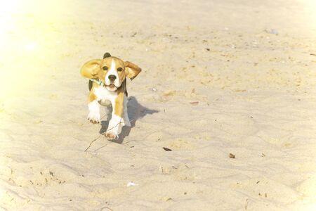 Beagle puppy running on the sea beach 스톡 콘텐츠