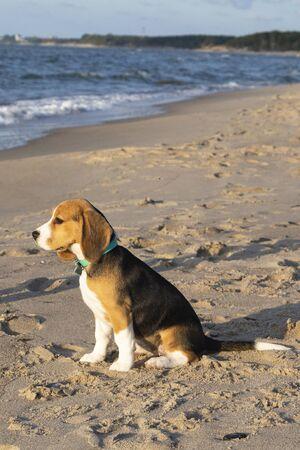 little cute tricolor Beagle puppy, sad look