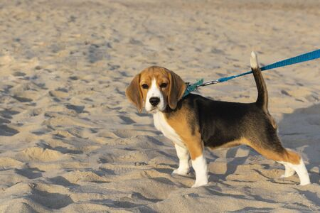 little cute tricolor Beagle puppy, sad look. Stockfoto