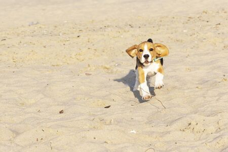 Beagle puppy running on the sea beach. Stockfoto