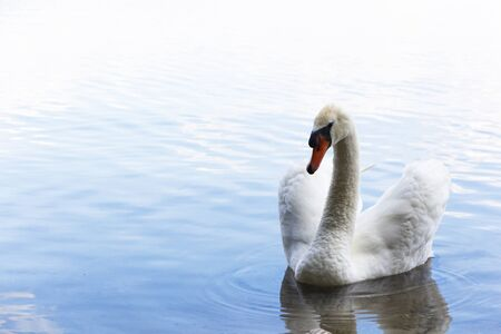 White swan. Romantic background. Romantic White Swan with clear beautiful scenery