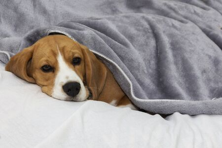 Beagle dog lies covered with a blanket and falls asleep. Tired or sick dog under blankets in bed. 스톡 콘텐츠 - 131777665