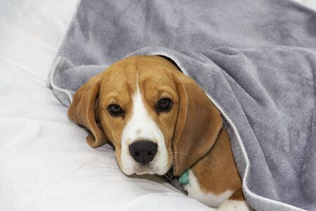 Beagle dog lies covered with a blanket and falls asleep. Tired or sick dog under blankets in bed. 스톡 콘텐츠 - 131777758