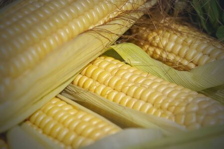 an ear of corn. harvest. natural product
