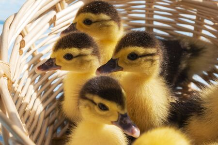 Cute little ducklings in a wicker basket on a sunny day