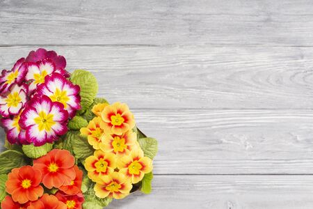 primroses are the first flowers that bloom in early spring, on a wooden background and a place for the inscription. gift. Mother's day