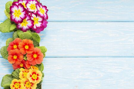 primroses are the first flowers that bloom in early spring, on a wooden background and a place for the inscription. gift. Mothers day. 스톡 콘텐츠