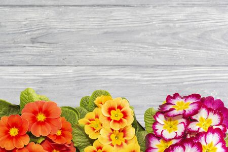 primroses are the first flowers that bloom in early spring, the place for the inscription. gift. 스톡 콘텐츠