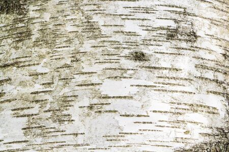 In the forest, the trunk of a birch tree is useful for the background 스톡 콘텐츠