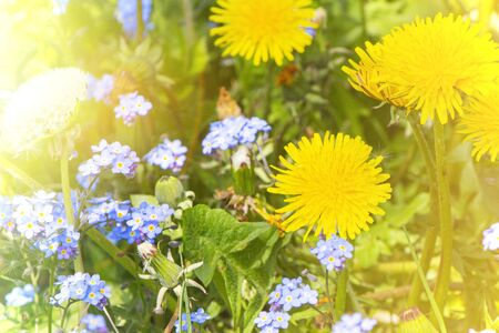 blue flowers and yellow dandelions in a clearing on a Sunny day Banque d'images