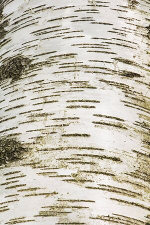 In the forest, the trunk of a birch tree is useful for the background. Stok Fotoğraf