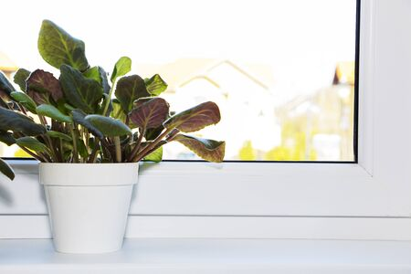 A pot with a green plant on a light windowsill. Indoor flower for office