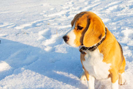 the beagle sits in the winter snow and looks into the distance.
