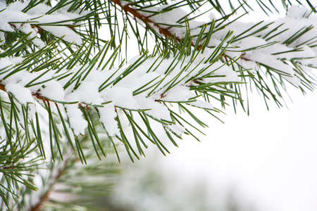 Green spruce in the snow. Spruce in winter. A symbol of the New Year holidays. Snow on the spruce branches. Pine branches. Imagens