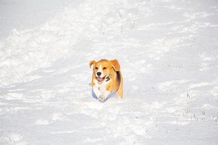beagle runs through the snow. Hunting the beast.