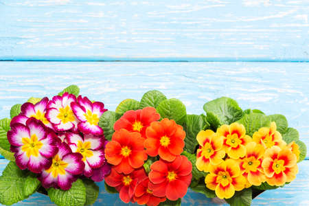 primroses are the first flowers that bloom in early spring, on a wooden background and a place for the inscription. gift. Mothers day. Imagens