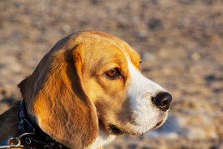 cute tricolor Beagle puppy, sad look. Waiting for the owner. Imagens