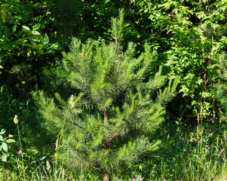 Beautiful fluffy spruce on a sunny day. The photo was taken in the city boron of Chelyabinsk, Russia. 스톡 콘텐츠