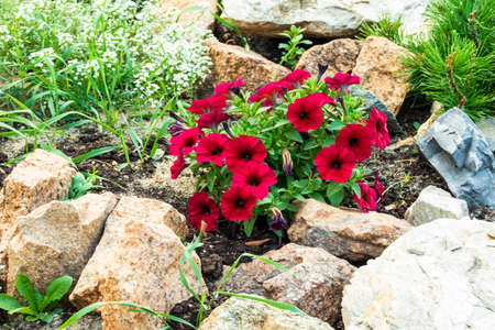 Beautiful bright flowers grow among the stones. Photo taken in Chelyabinsk, Russia. 免版税图像