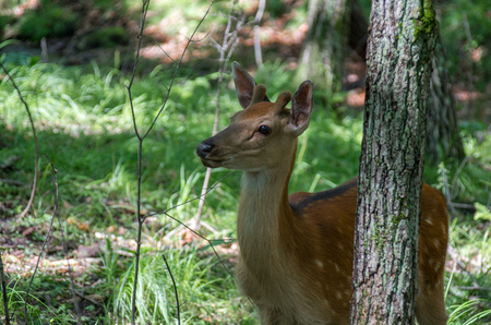 Female deer looking towards the back of the tree Stock Photo