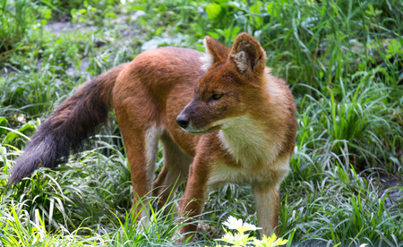 Dhole Asian wild dog in dense grass thickets Stock Photo