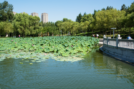 ruffle: Pond which overgrown by lotos flowers. Public park in urban feature.