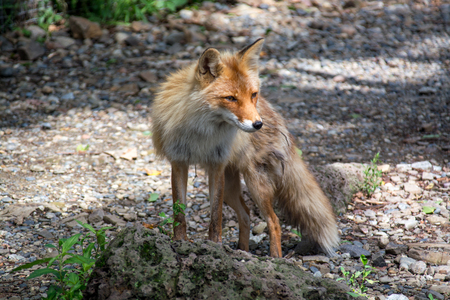 somewhere: Young red fox very carefully looks somewhere. Stock Photo
