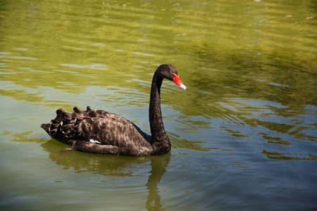 red beak: Black swan swimming in the pond. Close-up picture of swan with red beak surrounded by greenish water of reservoir. Stock Photo