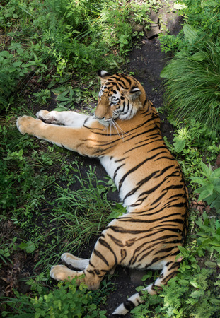 Top view on tiger who lies in the green overgrown. Predator sleeping peacefully among grass.