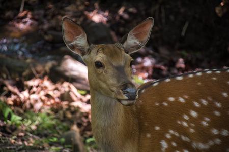 sika deer: Sika deer looking ahead. Close up view of deers face. Stock Photo