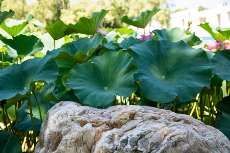 big leafs: Big boulder surrounded by a thickets of lotus. Big green leafs and few flowers.