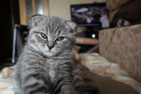 lop eared: Funny Scottish fold kitten. Confident and curious look. Stock Photo