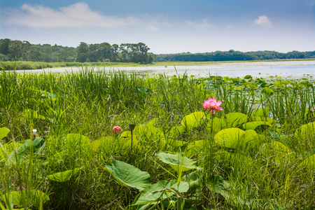 Single flower of lotus among greenery near water edge. Wild lotos in nature environment.