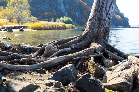 Bare roots of tree near the lake shore. Autumn day.