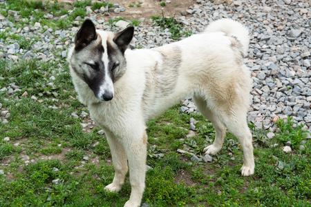 White mongrel portrait. Adult dog outdoors.