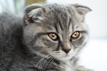 Scottish Fold cats face. Portrait of sad kitten. Reklamní fotografie