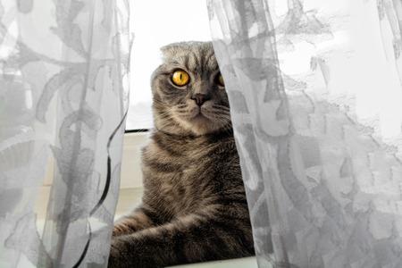 Cat is sitting on the windowsill behind the curtain. Grey pedigree cat. Big orange eyes is looking forward. Reklamní fotografie