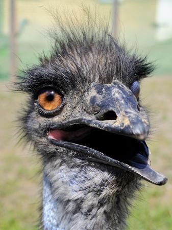 Silly ostrich