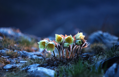pulsatilla: Group of young pulsatilla flowers basking in the setting sun
