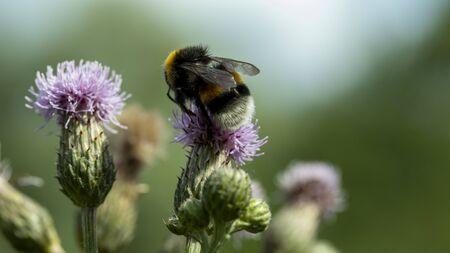 a shaggy bumblebee sits and pollinates a pink flower, macro 版權商用圖片