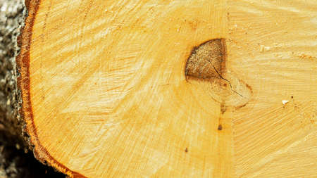 a fresh cut of the trunk of a large deciduous tree