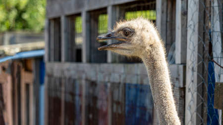 head of an African ostrich with an open beak close up