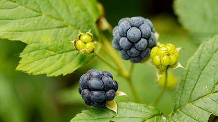 ripe blue BlackBerry berry on a Bush, macro photography