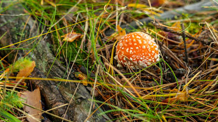 big red fly agaric among the branches in the forest Foto de archivo